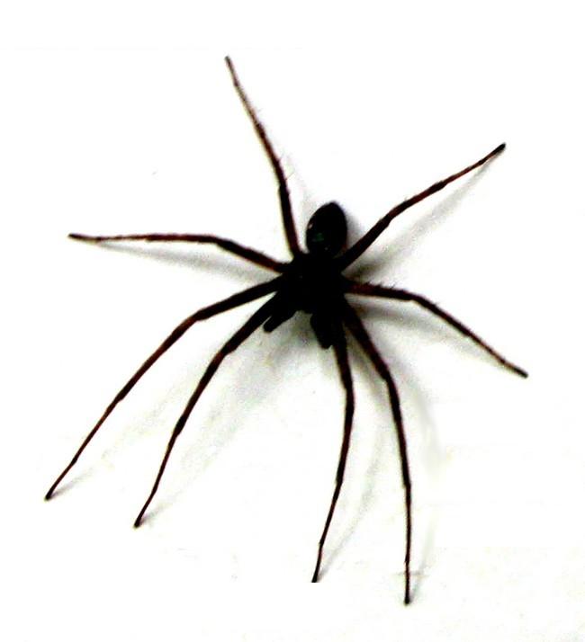 spider-c