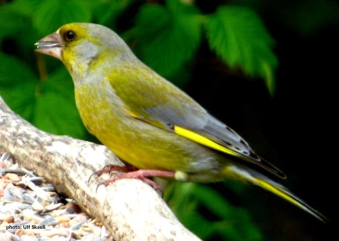 groennfink1
