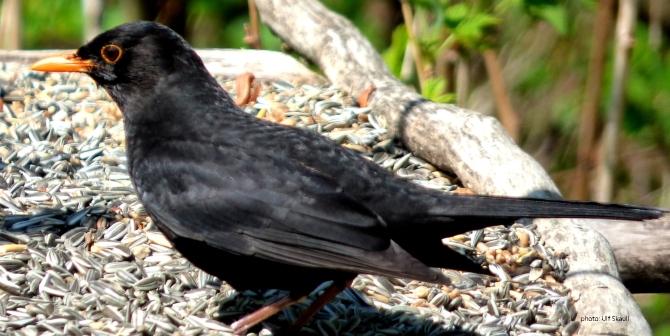 svarttrost1