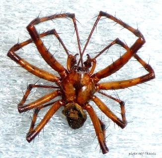 edderkopp-1