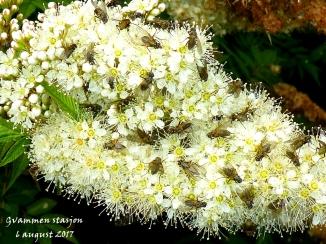 7flueplante