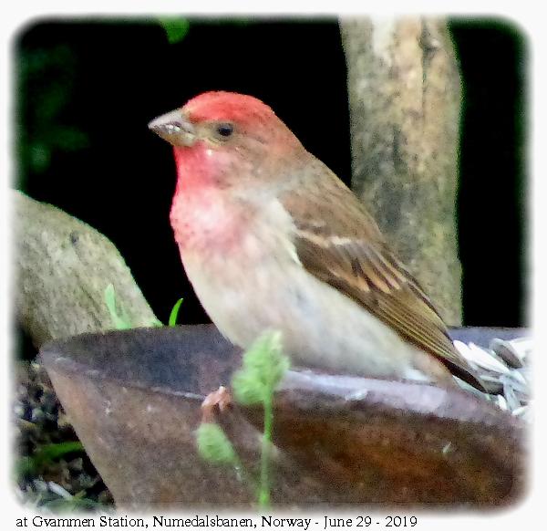 rosenfink